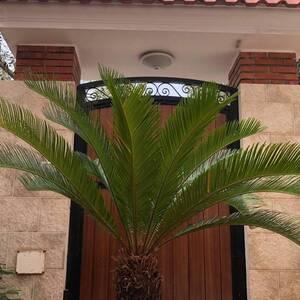 Sousse-maison_et_jardin-Cycas-du-japan-16-ans
