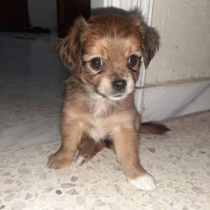 Monastir-animaux-chien-Chihuahua