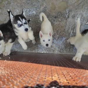 Nabeul-animaux-husky