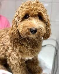 Tunis-animaux-male-chien-bichon-9-mois-avec-carné-bien-dressé-et