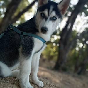 Tunis-animaux-Husky-sibérien-mâle