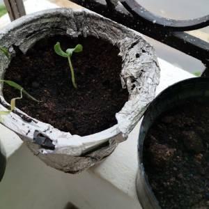 Ariana-maison_et_jardin-Plante-de-melon