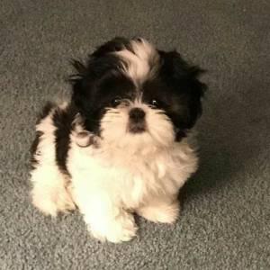 Tunis-animaux-Caniche-bichon-miniature-puppies-nain