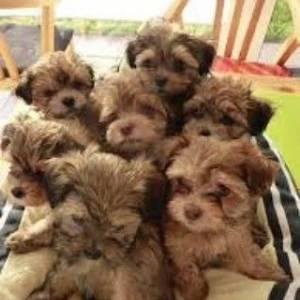 Tunis-animaux-Chien-de-poche-caniche-Bichon-mini-toy-parents-sur