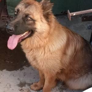 Tunis-animaux-chien-berger